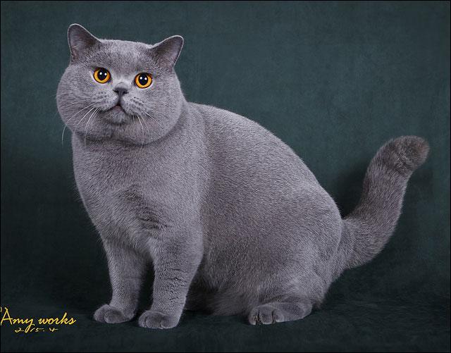 British shorthair malaysia 2014 – Popular breeds of cats photo blog